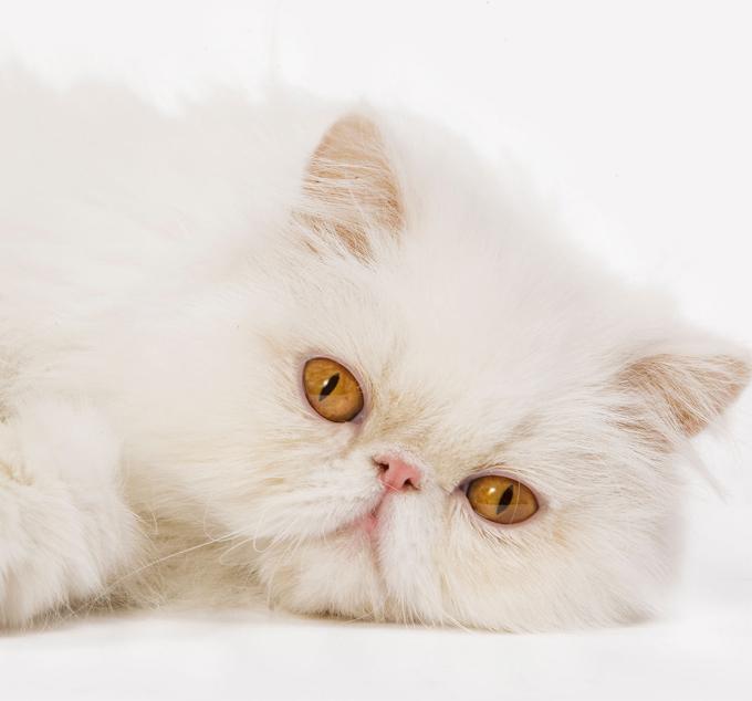 d0535f6a2b46 Περσική γάτα  Ποια πρέπει να είναι η διατροφή της