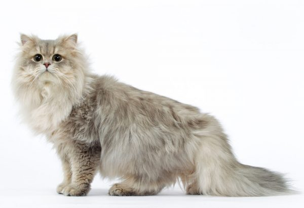 άμμος γάτας