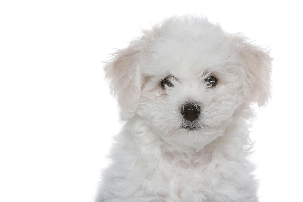 Bichon Frise Royal Canin