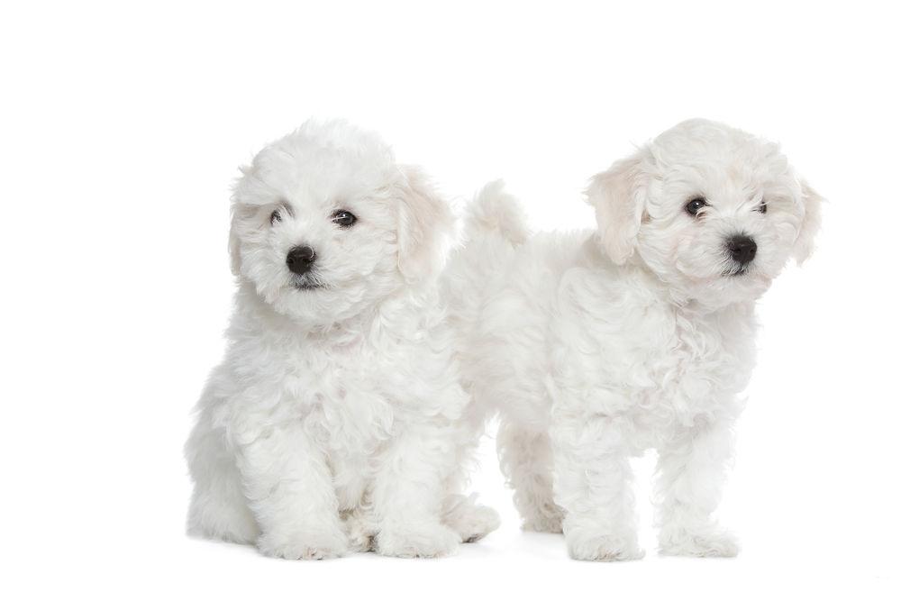 Bichon Frise - Royal Canin Hellas