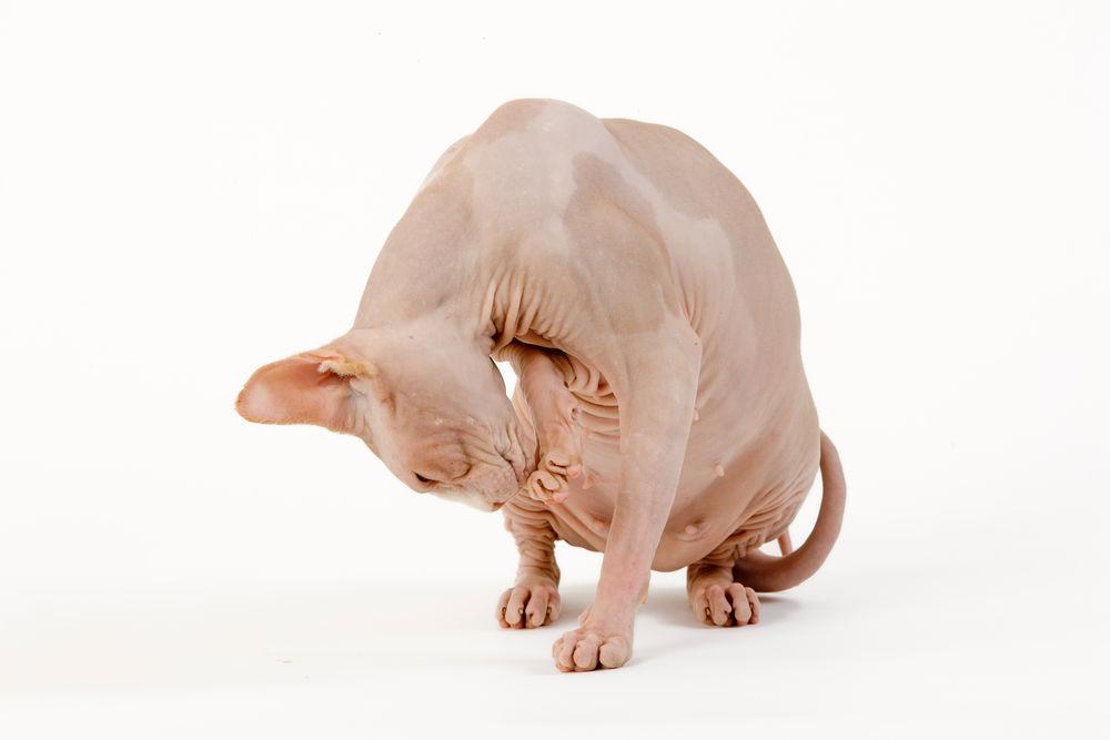 ξηρά τροφή γάτας V3