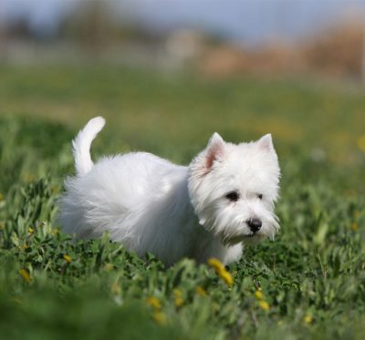 royal canin westie terrier