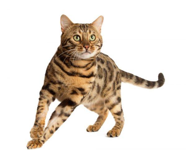 cb3381d34a1b Γάτα Βεγγάλης  Ευφυής   αθλητική