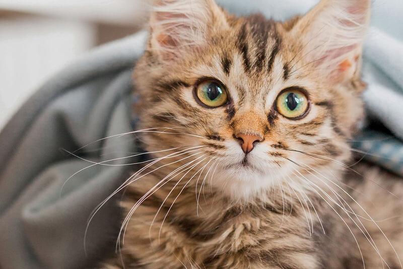 είδη γάτας