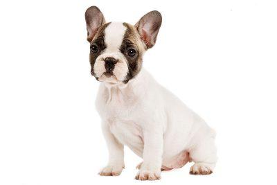 γαλλικό μπουλντόγκ (french bulldog)