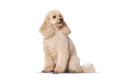 πουντλ (poodle)