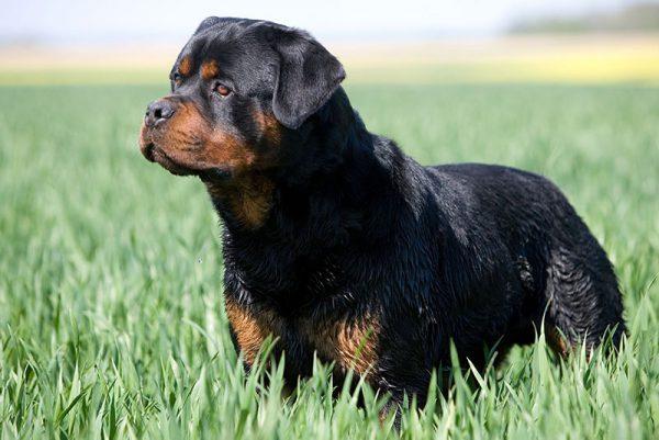 ροτβάιλερ (Rottweiler)